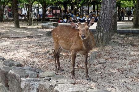Accueilli par un daim sur l'île de Miyajima