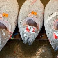 Étal de thons à la vente aux enchères de Tsukiji